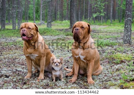 Three dogs in the pine forest - stock photo
