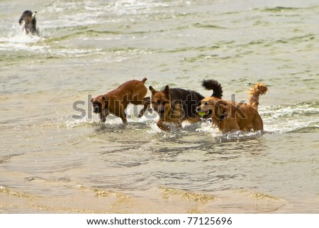 Three dogs of different breeds playing together in the ocean - stock photo