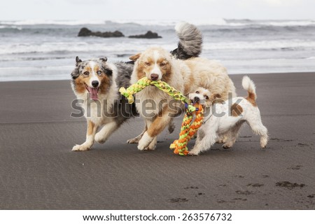 Three dogs playing and running in the beach with a toy. They are looking at the camera. - stock photo