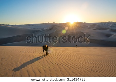 Three dogs walking on a sand dune at sunset in Huacachina, Peru - stock photo
