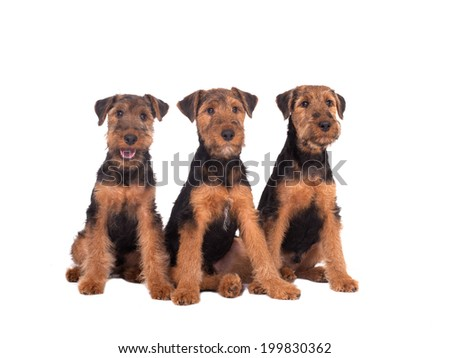 three dogs Welsh Terrier on a white background