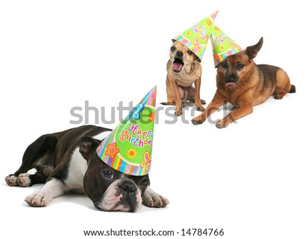 three dogs with birthday hats on their heads - stock photo