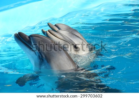 three dolphins are swimming in the blue water of the pool - stock photo