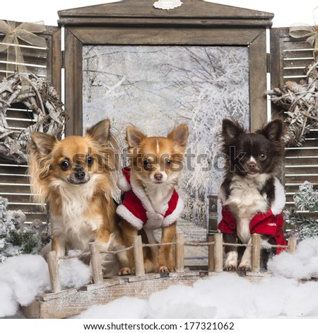 Three dressed-up Chihuahuas on a bridge, in a winter scenery