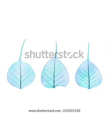 Three dry Winter blue  color Leaves - cell structure - isolated on white background - stock photo