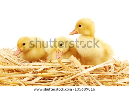 Three duckling on straw isolated on white