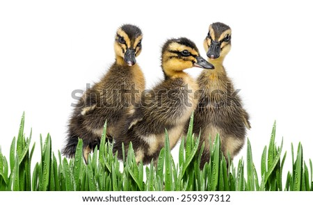 three ducklings - stock photo