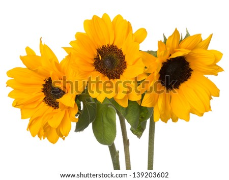 Three dwarf sunflowers (Helianthus annuus) with pollen-free golden orange petaled flowers with deep brown faces, typically grown in a pot - stock photo