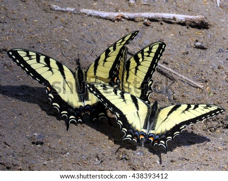 Three Eastern Tiger Swallowtail on the banks of the Potomac River near Washington DC, April 2016 USA                                        - stock photo