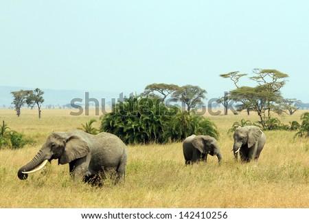 Three Elephants (Loxodonta Africana) Walking on Savannah, Serengeti, Tanzania - stock photo