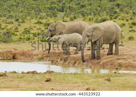 three elephants standing and drinking water at a water hole  - stock photo