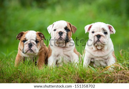 Three english bulldog puppies sitting on the grass - stock photo