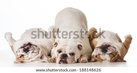 three english bulldogs isolated on white background - stock photo