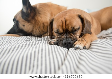 Three Fawn Colored Dogs Sleeping on Owner's Bed While No One Seeing  - stock photo