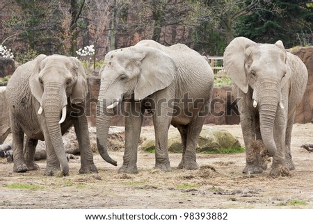 Three female African elephants stand shoulder to shoulder and curiously watch a group of people located out of frame who are watching them - stock photo