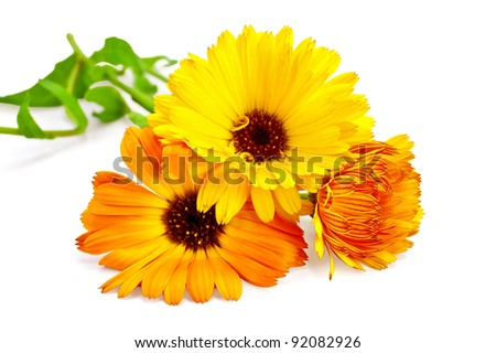 Three flowers of calendula with green leaves isolated on white background - stock photo