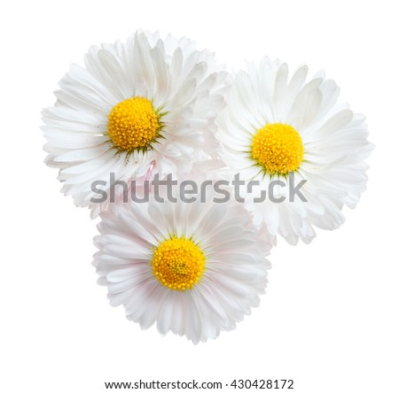 Three flowers of white daisy isolated on a white - stock photo