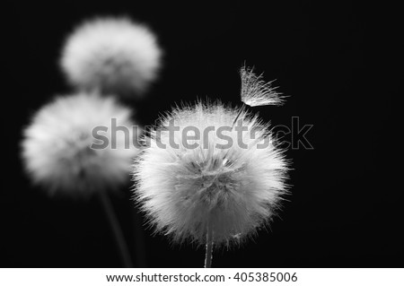 Three fluffy dandelions on dark background. Black and white image. Shallow DOF, focus on front flower and seed. - stock photo