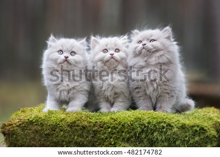 three fluffy gray kittens posing together outdoors