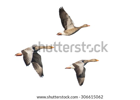 Three flying greylag geese isolated against white - stock photo