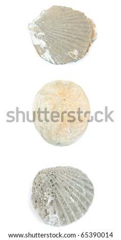 Three fossilzed shells isolated on a white background. - stock photo