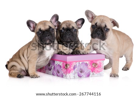 three french bulldog puppies on a box - stock photo