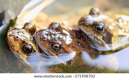 Three frogs during breeding season - stock photo