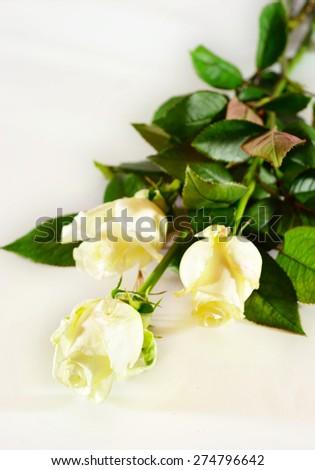 Three full-stem white roses. Isolated on white. Selective focus - stock photo