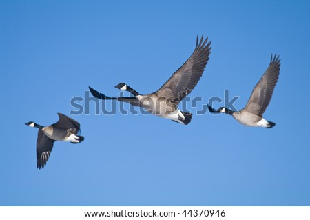 Three geese flying against a blue sky - stock photo