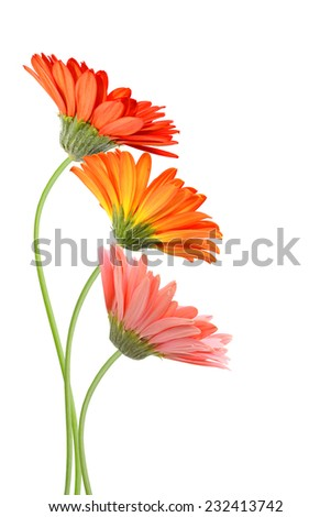 three gerber daisies day - stock photo