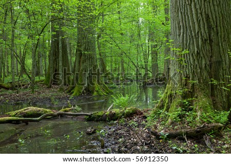 Three giant oaks in natural forest and dead wood in foreground with standing water among - stock photo