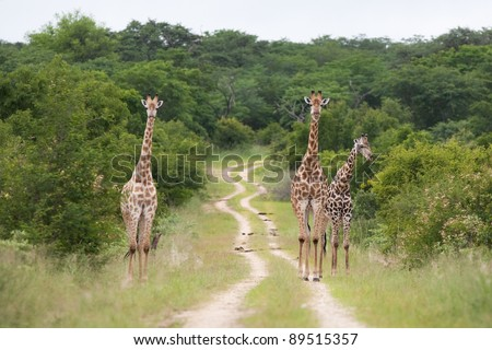 Three giraffe bulls standing in and next to a dirt track in Hwange National Park, Zimbabwe - stock photo