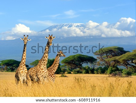 Three giraffe on Kilimanjaro mount background in National park of Kenya, Africa