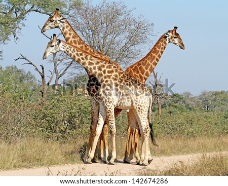 Three giraffes bathed in soft sunset light, Kruger National Park, South Africa - stock photo