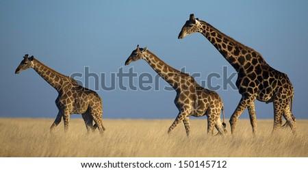 Three giraffes crossing yellow plains at sunset - stock photo