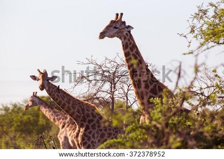 Three giraffes sticking their necks out - stock photo
