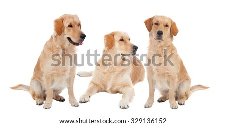 Three Golden Retriever dogs breed in isolated studio on white background - stock photo