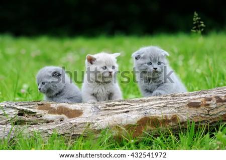 Three gray kitten on nature. Cute baby kitten on tree  - stock photo