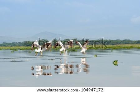 Three Great White Pelicans, Kenya - stock photo