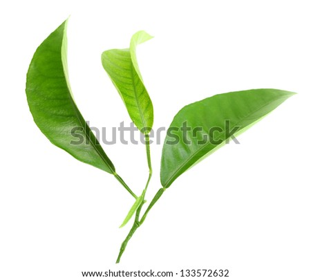 Three green leaf of citrus-tree on branch. Isolated on white background. Close-up. Studio photography. - stock photo