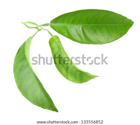 Three green leaf of citrus-tree on sprout. Isolated on white background. Close-up. Studio photography. - stock photo