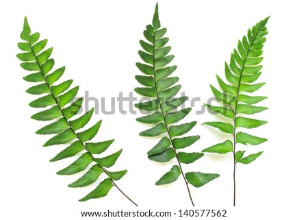 Three green leaves of fern isolated on white background. - stock photo