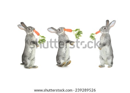Three grey rabbit and carrots  on a white background - stock photo