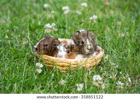 Three guinea pig in a basket in the grass