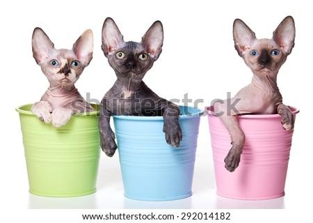 Three hairless kitten sitting in pots (isolated on white) - stock photo