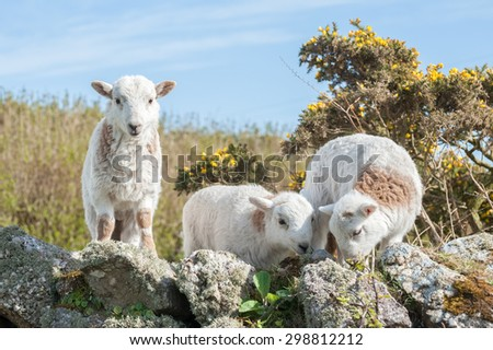three happy lambs grazing on a stone wall - stock photo