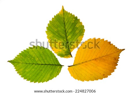 Three high resolution autumn leaves of elm tree isolated on white background  - stock photo