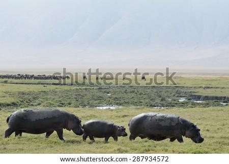 Three Hippo's walking at the Ngorongoro crater. - stock photo