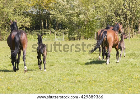Three horses and two foals running away in grass land