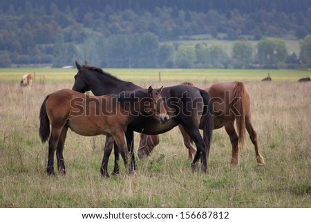 Three horses on the pasture